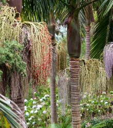 Palma kráľovská - Archontophoenix cunninghamiana - semená - 3 ks