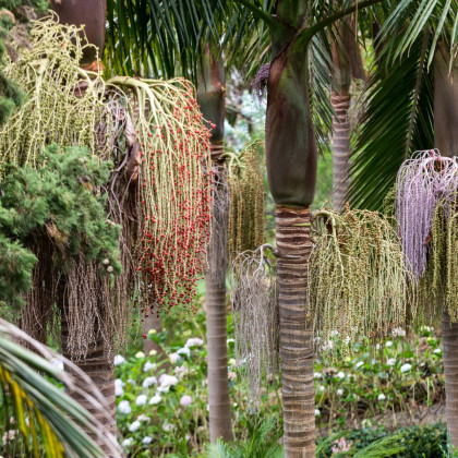 Palma kráľovská - Archontophoenix cunninghamiana - semená palmy - semiačka - 3 ks