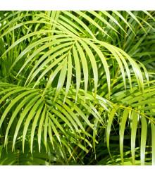 Palma madagaskarská - Dypsis madagascariensis - semená - 3 ks