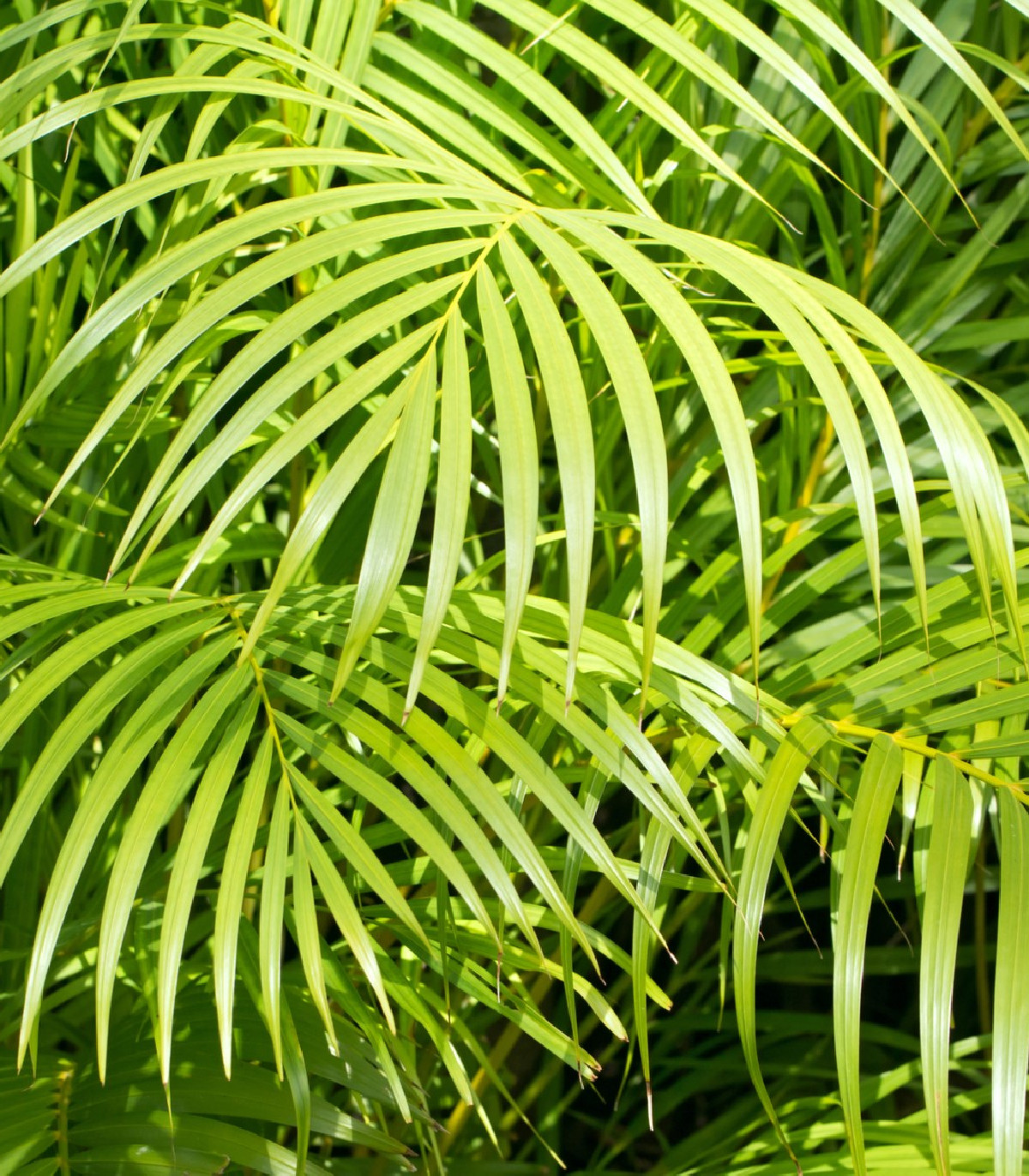 Palma madagaskarská - Dypsis madagascariensis - semená palmy - semiačka - 3 ks
