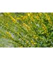 Repík lekársky - Agrimonia eupatoria - semená repíka - semiačka - 20 ks