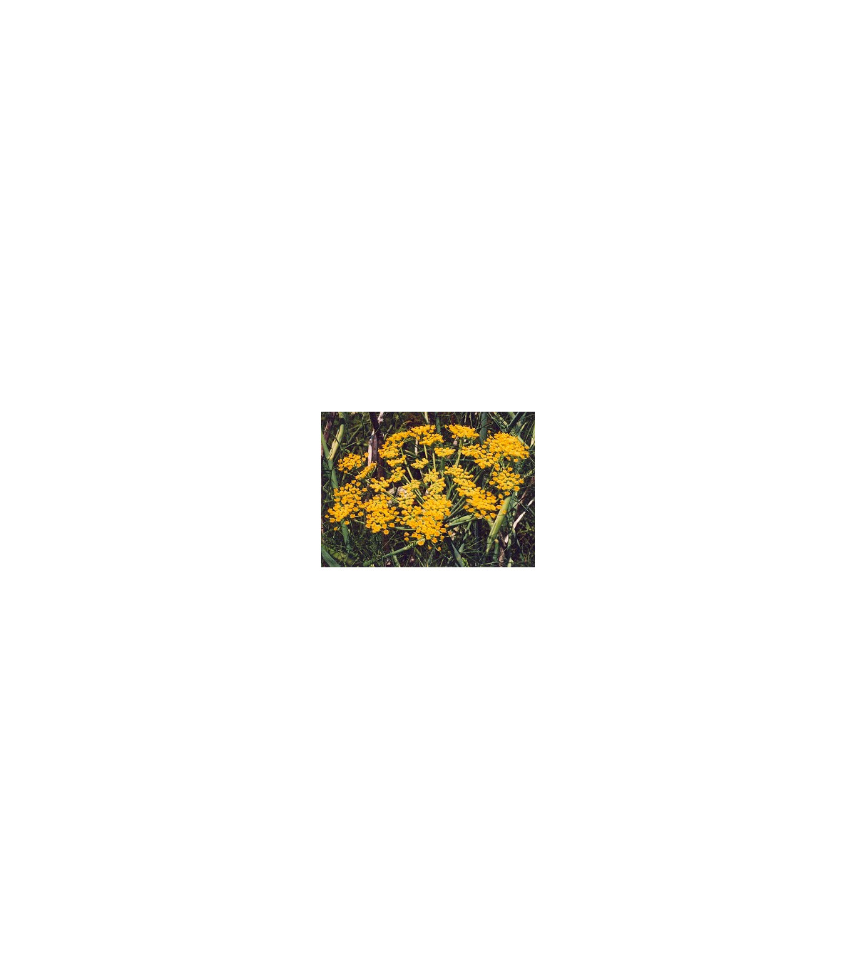 BIO Fenikel obyčajný - Feoniculum vulgare - semená fenikla - semiačka - 0,6 gr