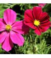 Krasuľka perovitá Sonata - Cosmos bipinnatus - semená krasuľky - semiačka - 1 gr
