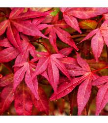 Javor japonský - Acer palmatum - bonsaj - semená - 5 ks