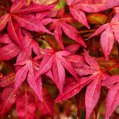 Javor japonský - Acer palmatum - semená javora - semiačka - 5 ks
