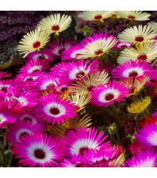 Poludňovkovec sedmokráskovitý - zmes - Dorotheanthus belidiformis - kosmatec - semená - 0,3 g