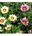 Gazánia zmes farieb - Gazania rigens - semená gazánie - semiačka - 0,15 gr