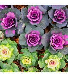 Kel okrasný hlávkový - Brassica oleracea sabauta - semená - 50 ks