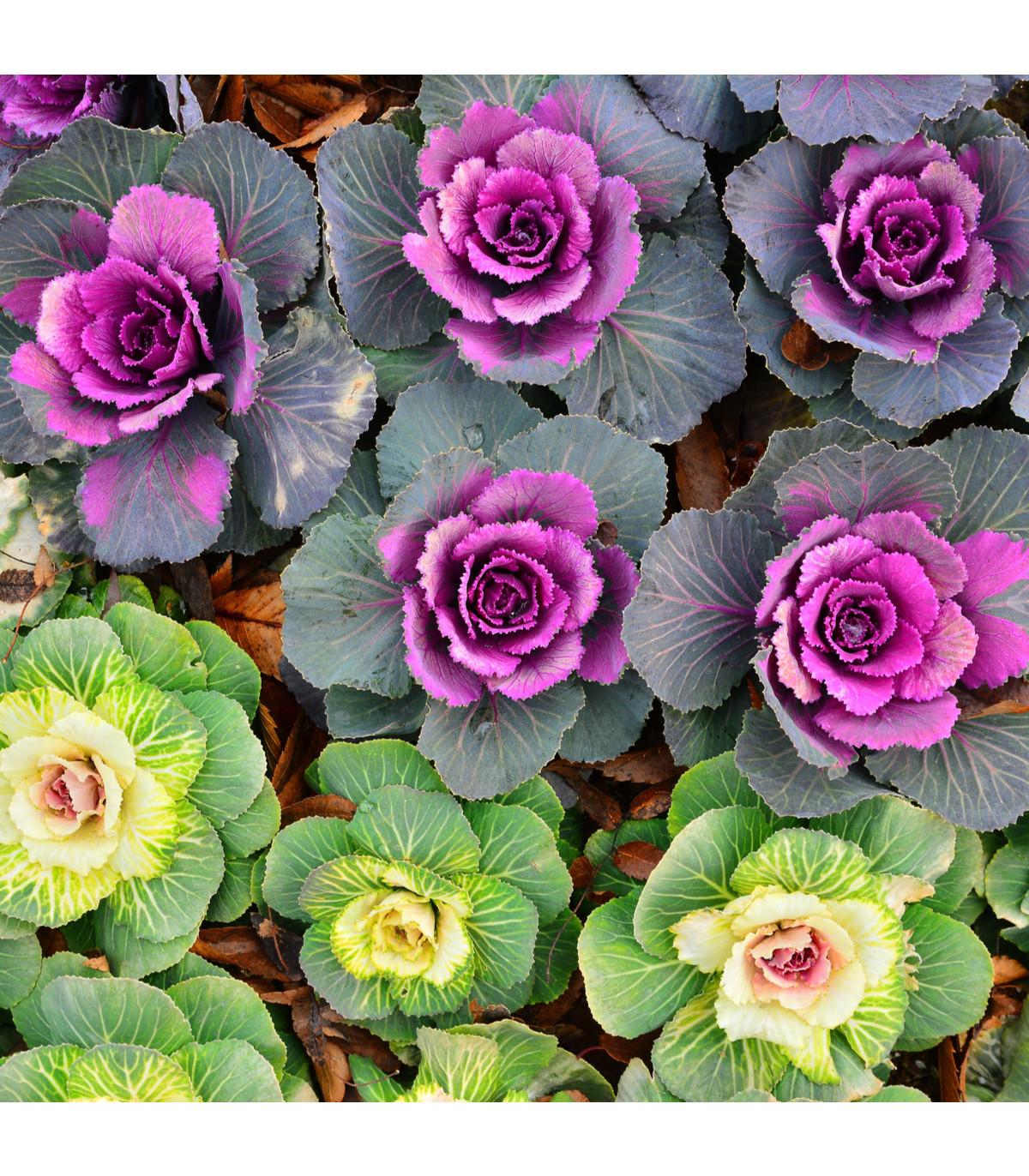 Kel okrasný - hit do záhrady - Brassica oleracea sabauta - semená kelu - semiačka - 50 ks