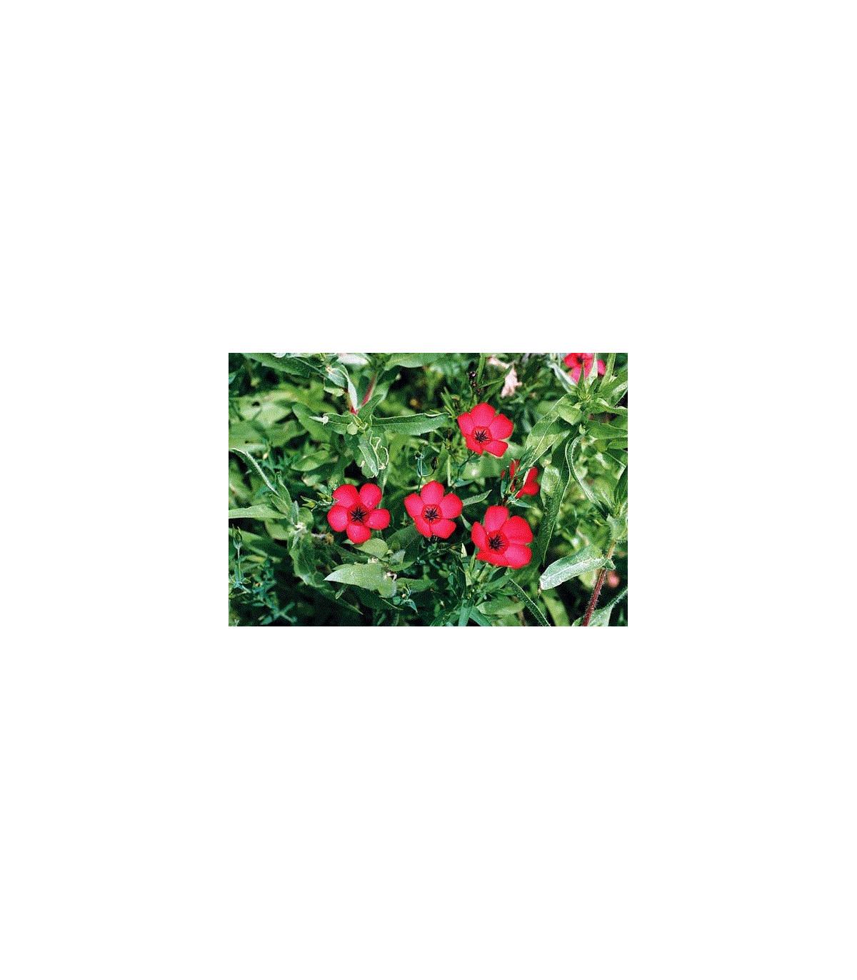 Ľan červený veľkokvetý - Linum grandiflorum - semená ľanu - semiačka - 1 g