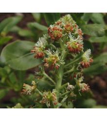 Rezeda voňavá veľkokvetá - Reseda odorata - semená - 0,5 g