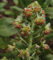 Rezeda voňavá veľkokvetá - Reseda odorata - semená rezedy - semiačka - 0,5 gr