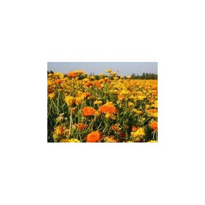 Zmes letničiek žltých - semená letničiek - semiačka - 0,9 g
