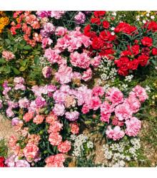 More about Klinček trpasličí - mix farieb - Dianthus caryophyllus - semená - 130 ks