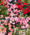 Klinček trpasličí - mix farieb - Dianthus caryophyllus - semená klinčeka - semiačka - 130 ks