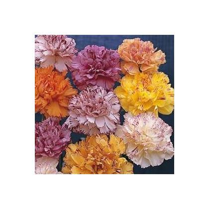 Klinček karafiát - mix farieb - dianthus caryophyllus - semená klinčeka - semiačka - 130 ks