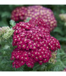 Rebríček obyčajný Cerise Queen - Achillea millefolium - semená rebríčka - semiačka - 0,1 g