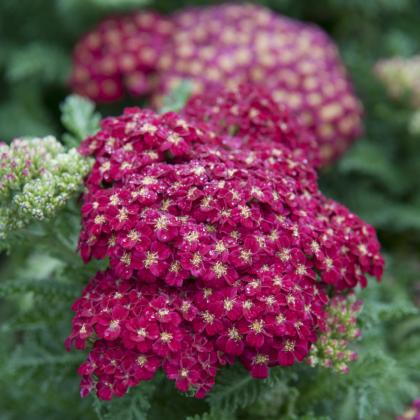 Rebríček obyčajný Cerise Queen - Achillea millefolium - semená - 500 ks