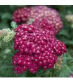 Rebríček obyčajný Cerise Queen - Achillea millefolium - semená rebríčka - semiačka - 0,5 gr