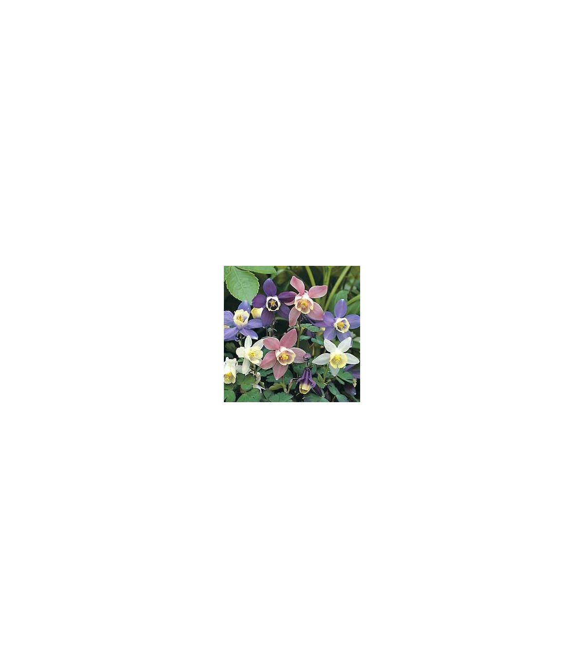 Orlíček zmes farieb - Aquilegia caerulea - semená orlíčka - semiačka - 140 ks