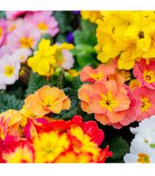 Prvosienka veľkokvetá zmes farieb - Primula elatior - semená prvosienky - semiačka - 60 ks