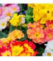 Prvosienka vyššia zmes - Primula elatior - semená - 60 ks