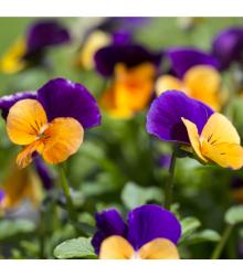 Fialka rohatá - zmes - Viola cornuta - semená - 300 ks
