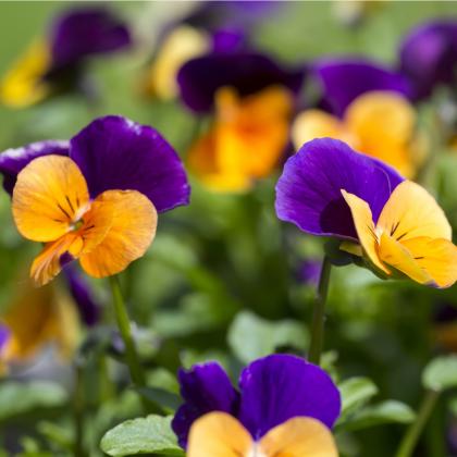 Fialka rohatá - Viola cornuta - semená fialky - 300 ks