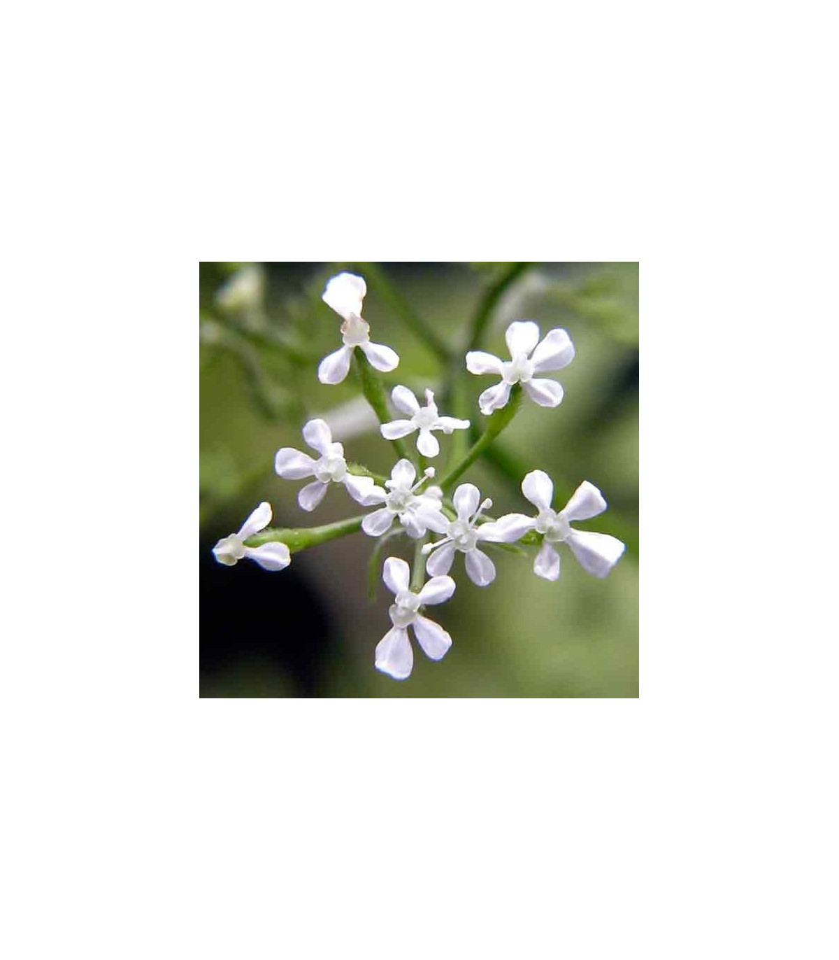 BIO Trebuľka siata - Anthriscus erefolium - semená trebuľky - semiačka - 350 ks