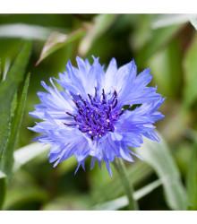 Nevädza poľná modrá - Centaurea cyanus - semená - 30 ks
