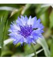 Nevädza poľná modrá - Centaurea cyanus - semená nevädze - semiačka - 30 ks