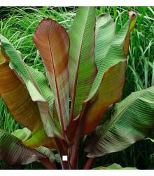 Banánovník habešský - Ensete vetricosum - semená banánovníka - semiačka - 3 ks