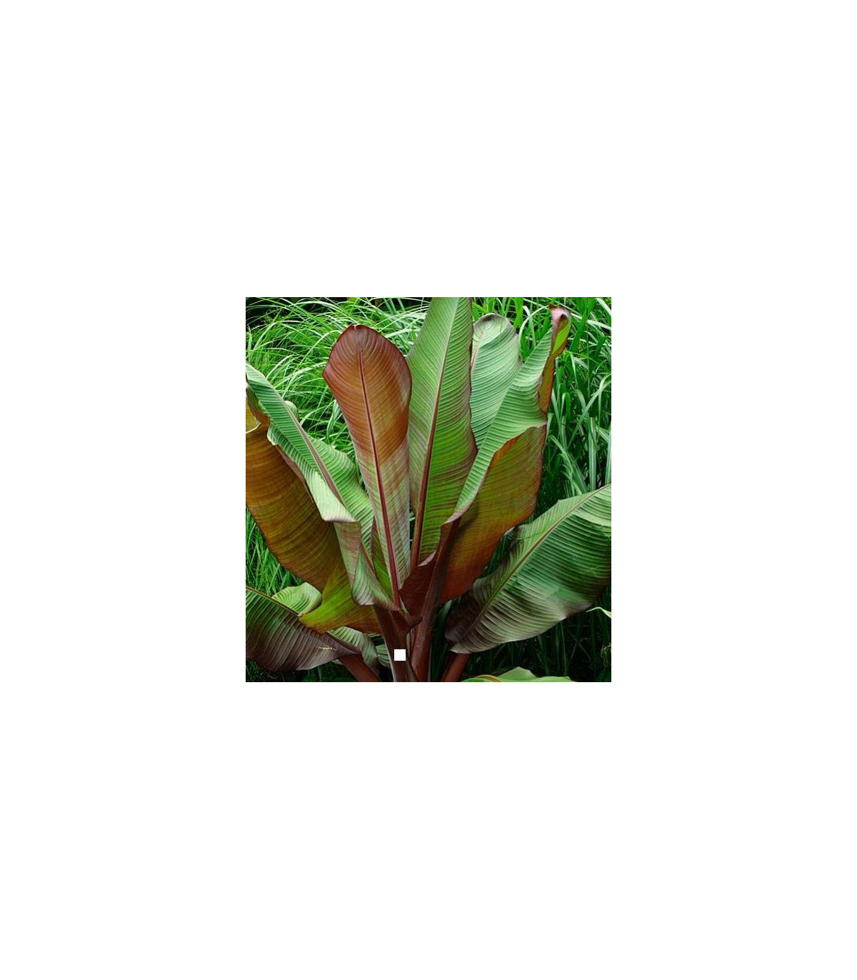 Banánovník habešský - Ensete vetricosum - semená banánovníka - 3 ks