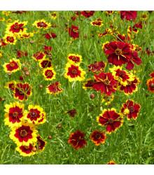Krásnoočko zmes farieb - semená krásnoočka - semiačka - 50 ks