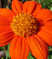 Titónia okrúhlolistá - Tithonia rotundifolia - semená - 60 ks