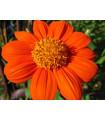 Titónia okrúhlolistá - Tithonia rotundifolia - semená titónie - semiačka - 60 ks