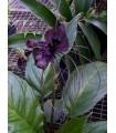 Taka veľkokvetá - Tacca chantrieri - semená taky - 3 ks