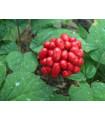 Všehoj ázijský - ženšen - Panax ginseng - semená - 2 ks
