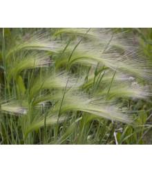 Jačmeň hrivnatý - Hordeum jubatum - semená - 10 ks