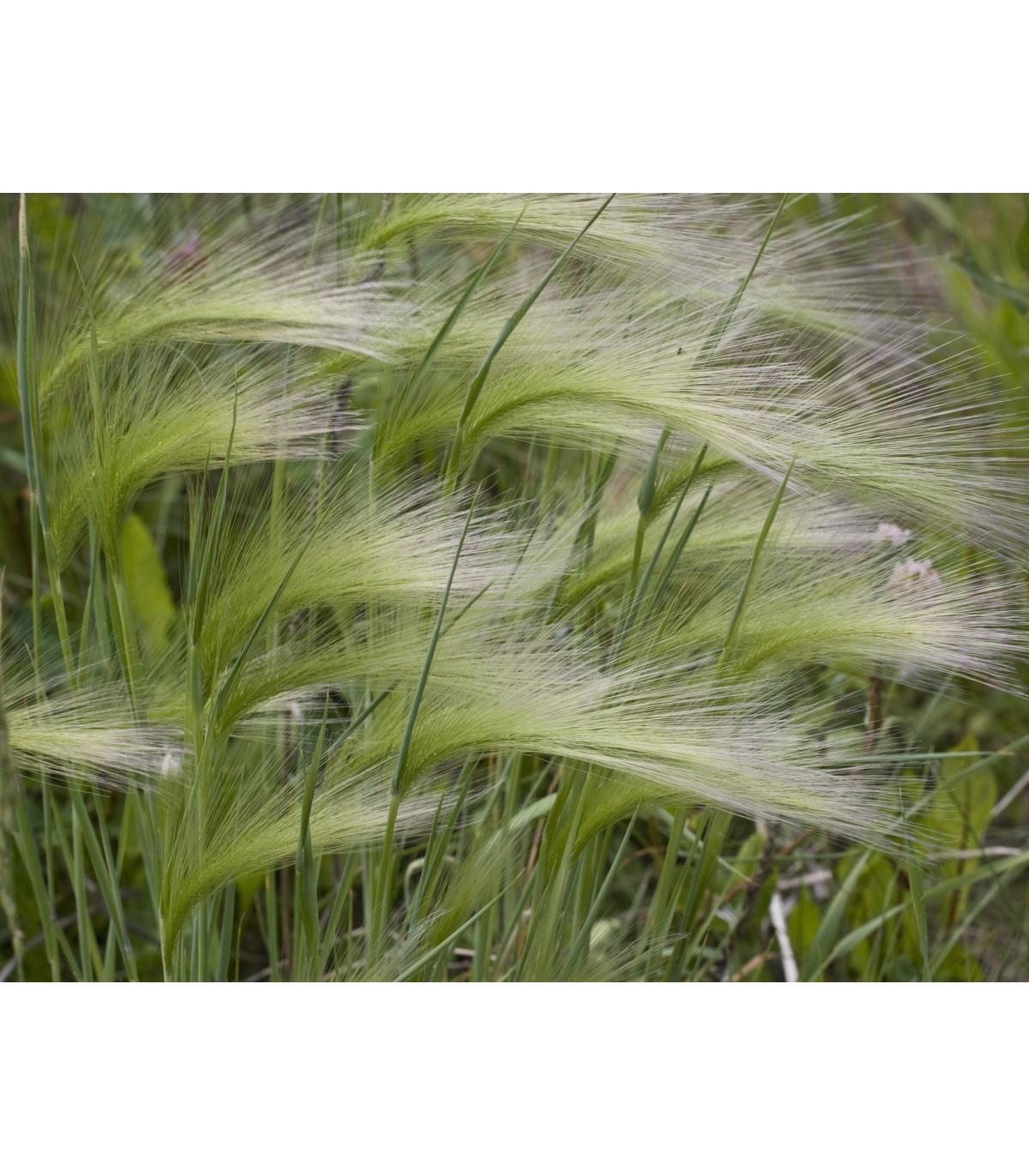 Jačmeň hrivnatý - Hordeum jubatum - semená jačmeňa - semiačka - 10 ks