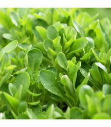 Valeriánka poľná Verte de Cambrai - Vallerianella locusta - semená valeriánky - semiačka - 50 ks