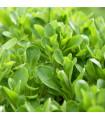 Valeriánka poľná Verte de Cambrai - Vallerianella locusta - polníček - semená - 50 ks