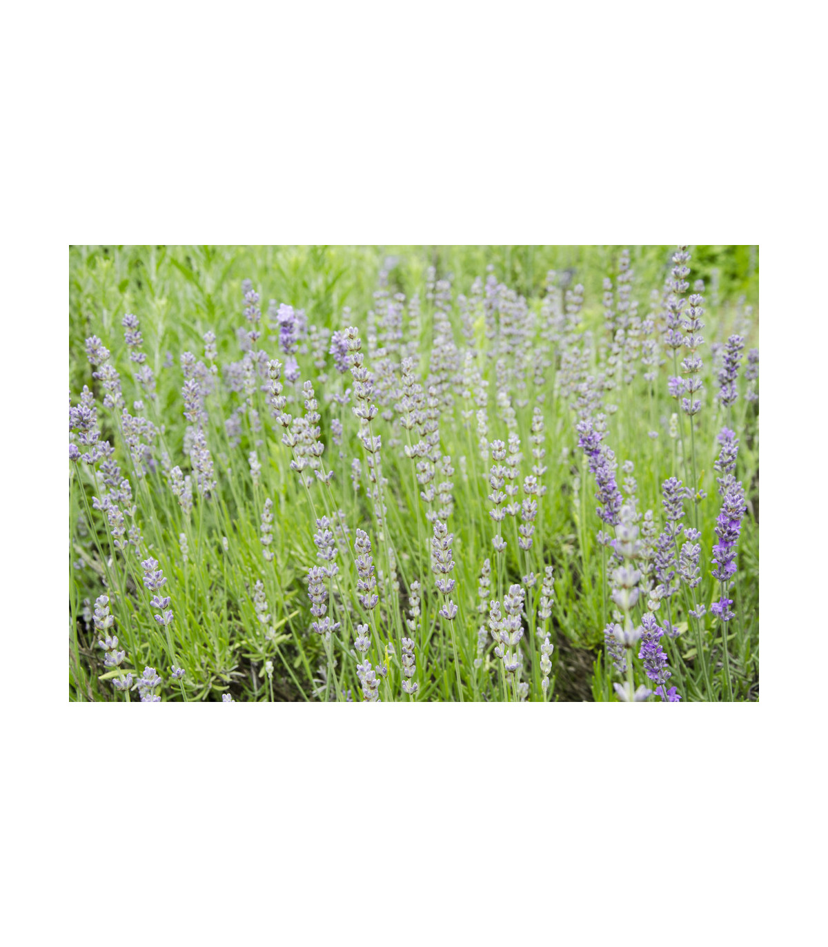 Levanduľa lekárska ružová ŠPECIÁL - Lavandula angustifolia - semená levandule - semiačka - 50 ks
