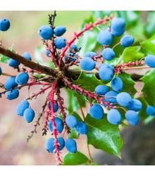 Mahónia cezmínolistá - Mahonia aquifolium - semená - 5 ks