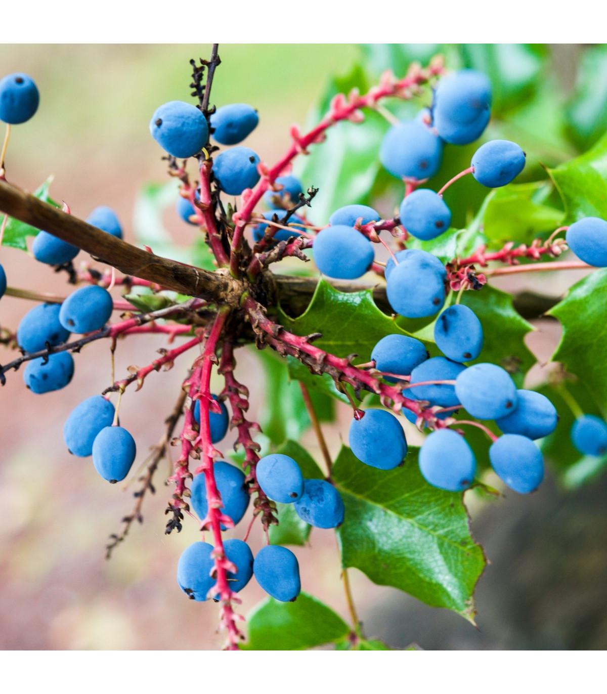 Mahónia cezmínolistá - Mahonia aquifolium - semená mahónie - semiačka - 5 ks