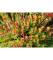Rozchodnica ružová - Rhodiola rosea - semená - 8 ks