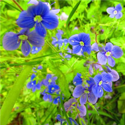 Veronika obyčajná - Veronica chamedrys - semená - 25 ks