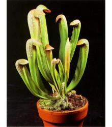 Špirlica privretá - Sarracenia minor - semená špirlice - semiačka - 12 ks