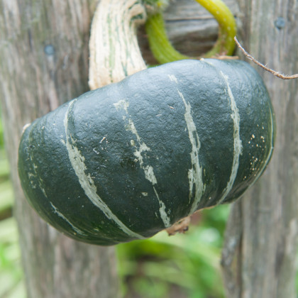 Tekvica veľkoplodá - Buttercup Burgess - semená tekvice - semiačka - 5 ks