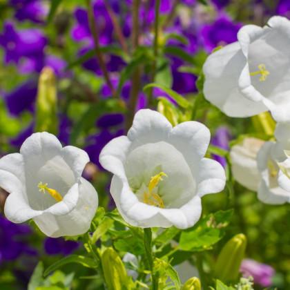 Zvonček karpatský biely - Campanula carpatica - semená - 400 ks
